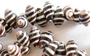 Pyrene Shell, Striped, Sidedrill, approx 8x15mm beads, TROPICAL SHELL BEADS